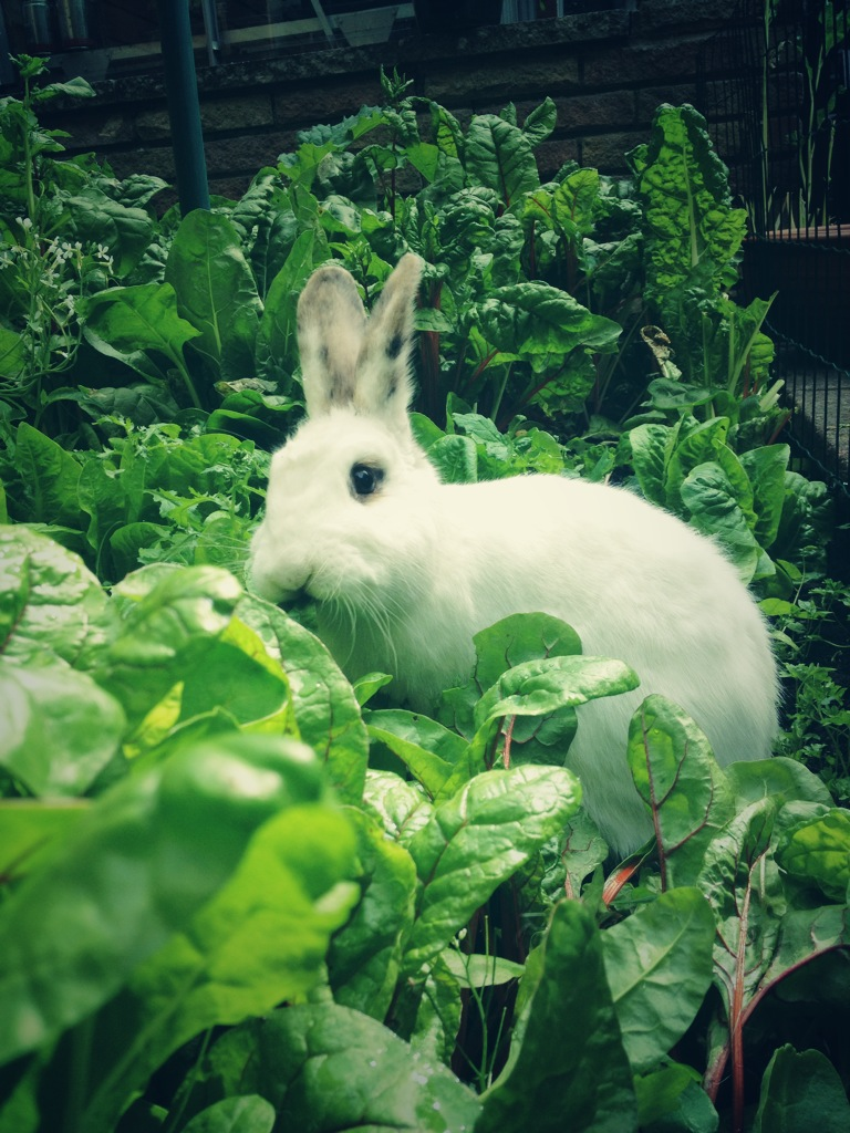 Having Breached the Garden Walls, Bunny Feasts!