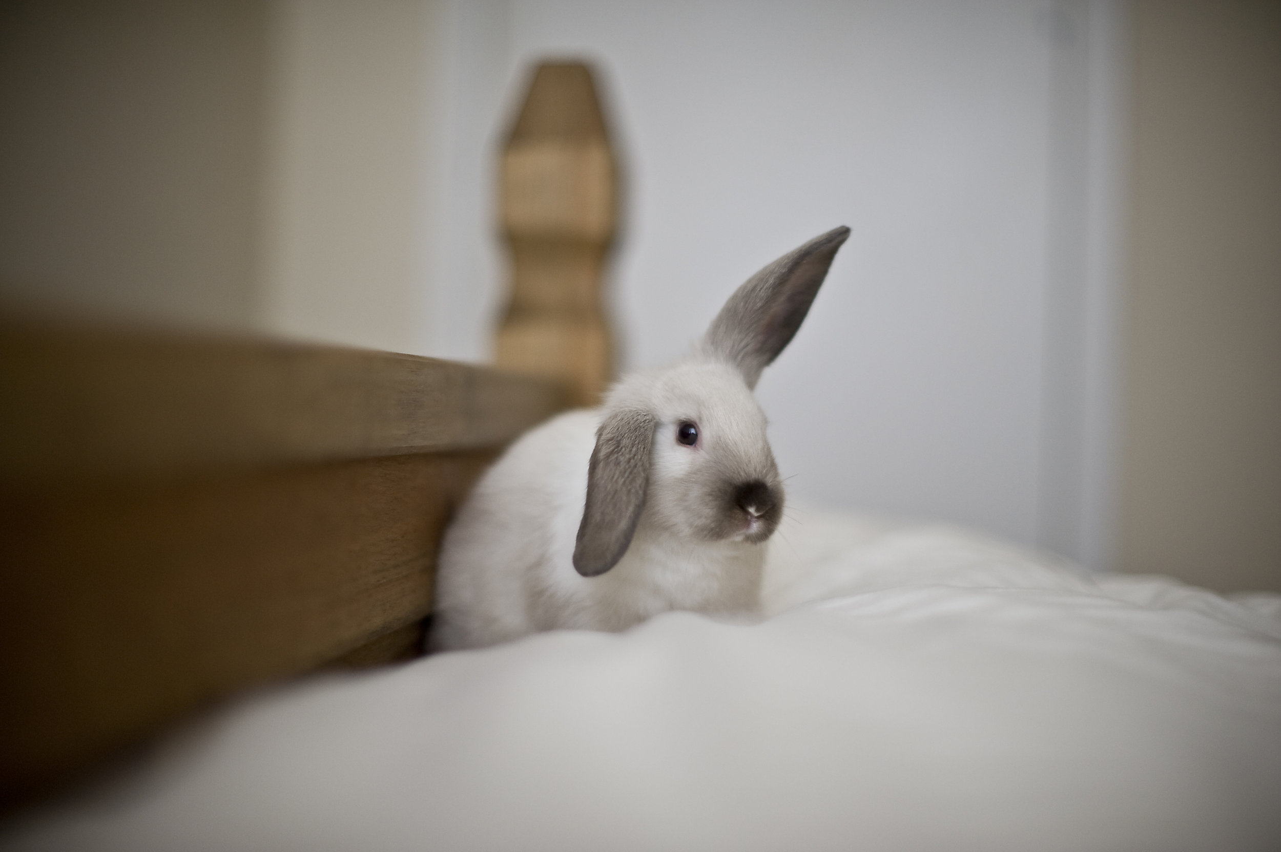 Fluffy Helicopter Bunny on a Fluffy Bed