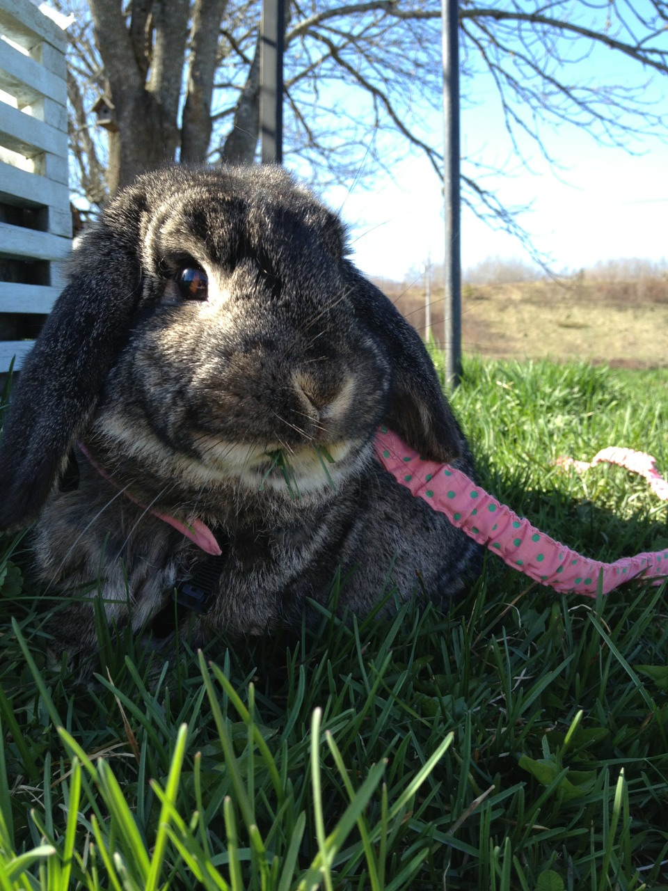 Bunny Has a Mouthful of Grass