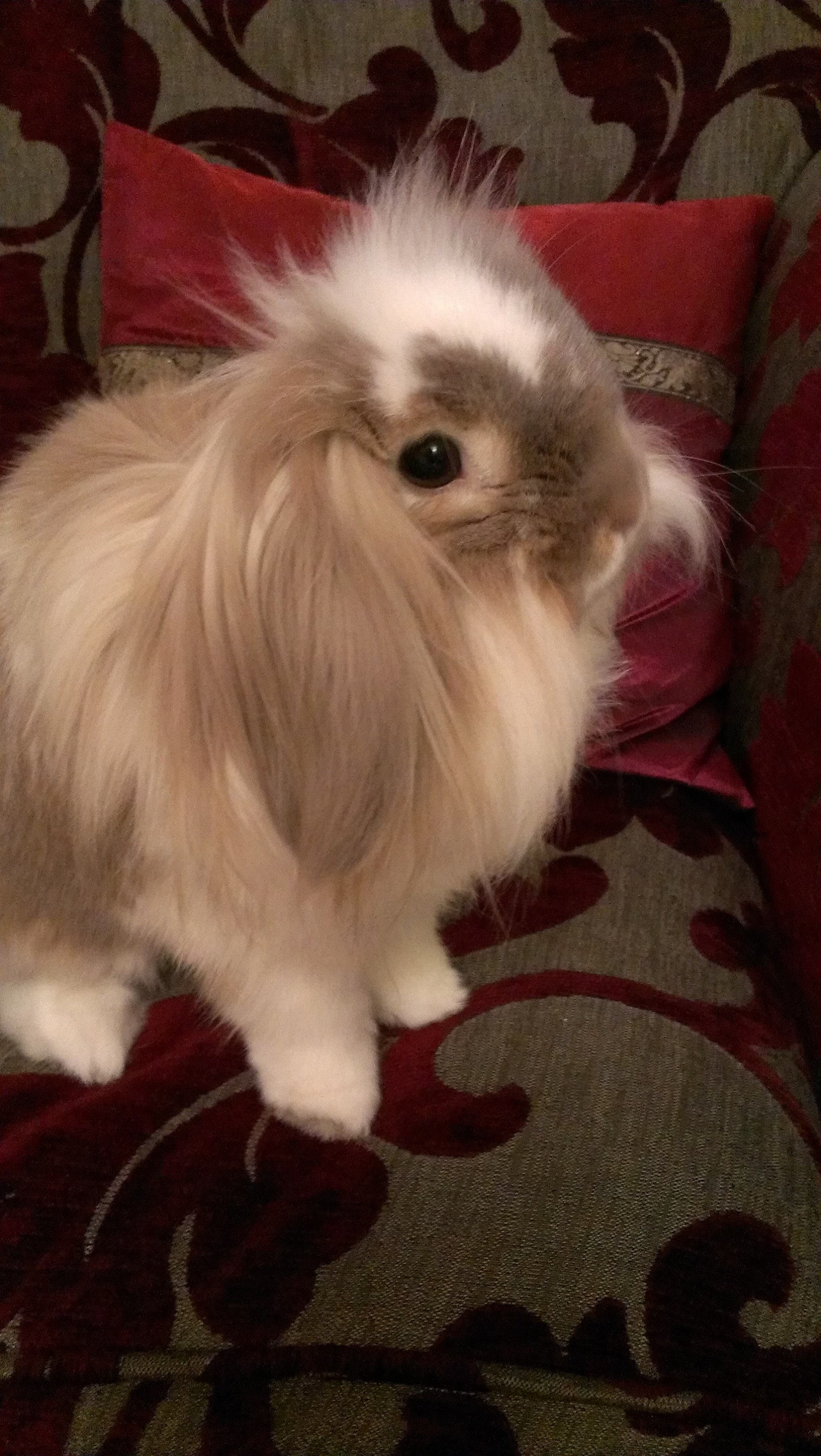 Lionhead Bunny's Long Fur Goes Everywhere When She Flops for a Nap 2