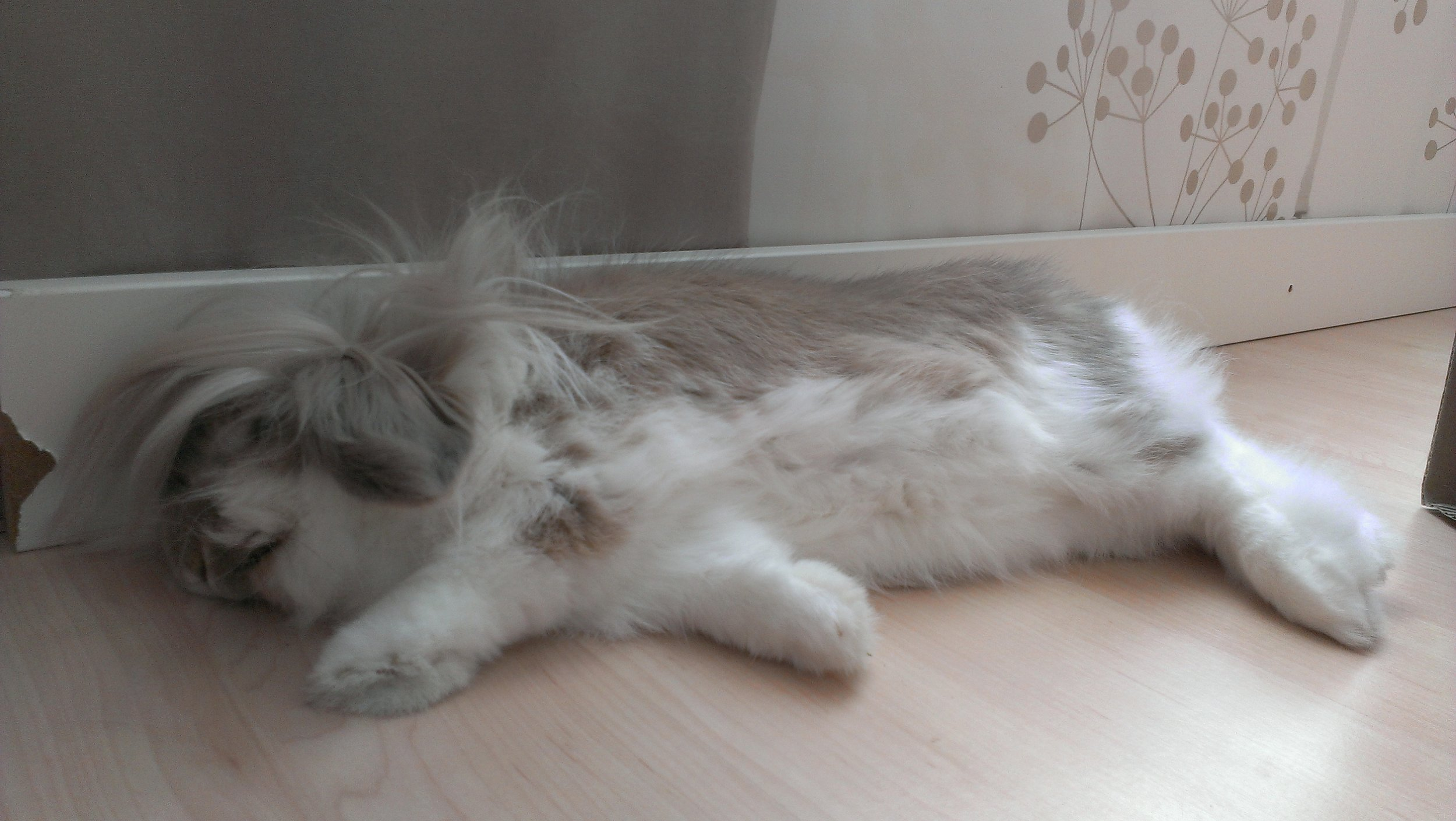 Lionhead Bunny's Long Fur Goes Everywhere When She Flops for a Nap