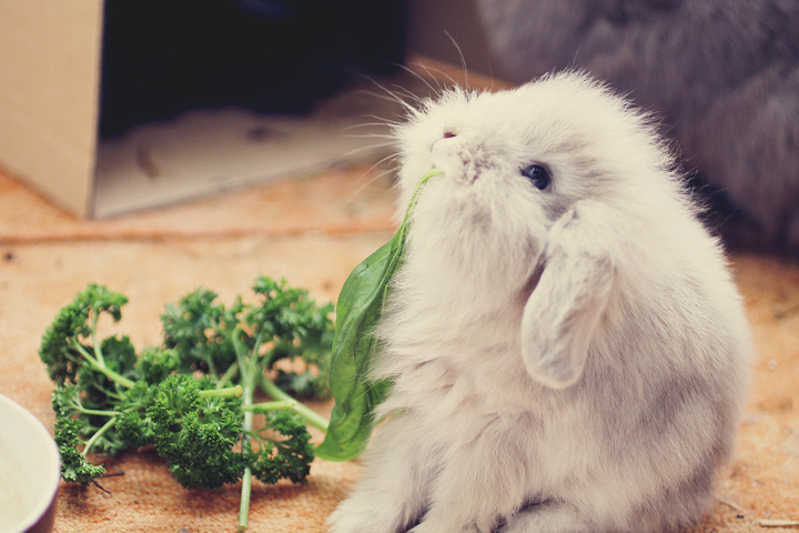 Determined Bunny WILL Free This Leaf from the Parsley!