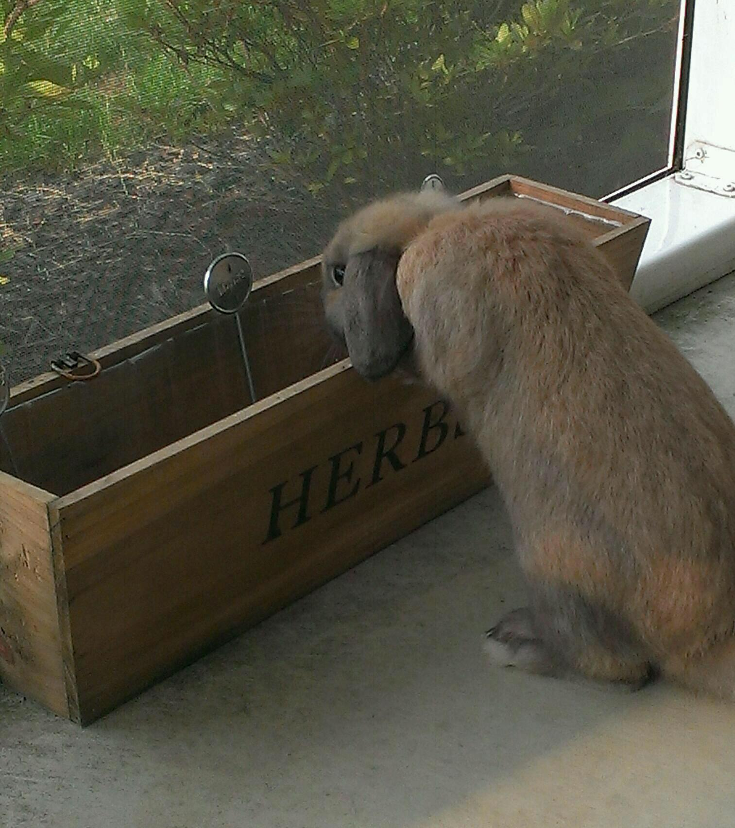 Bunny Checks the Planter to See If Any Greens Have Appeared Yet