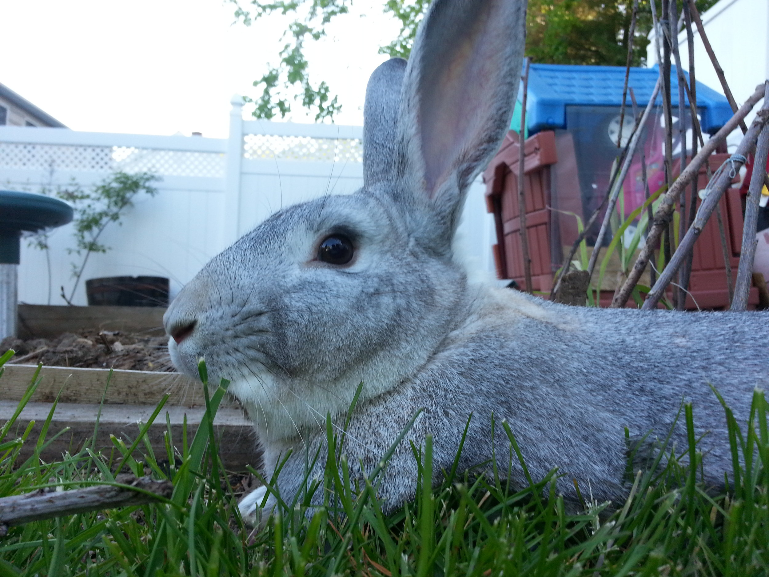After a Brief Rest, Bunny Gets Back to Exploring the Backyard 1