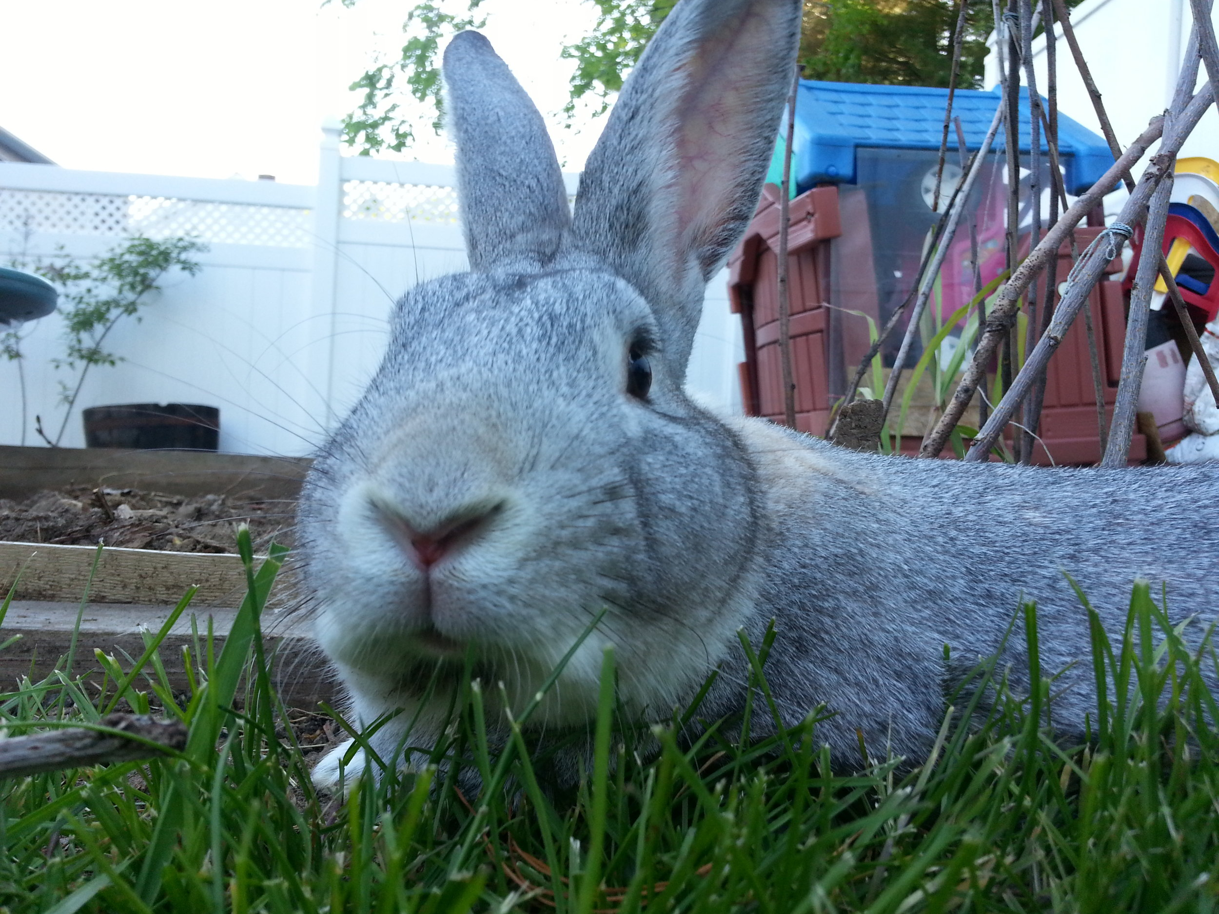 After a Brief Rest, Bunny Gets Back to Exploring the Backyard 2