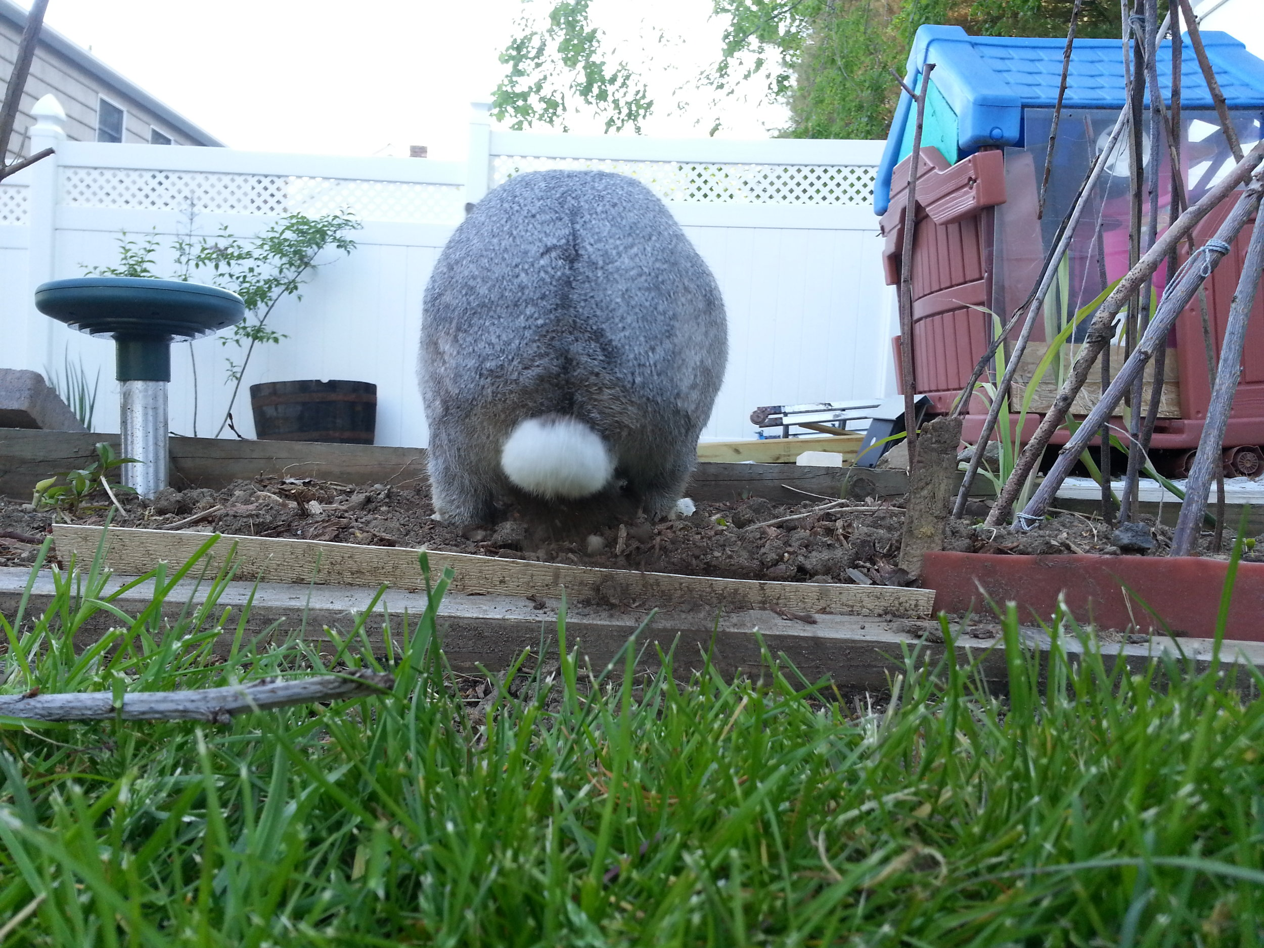 After a Brief Rest, Bunny Gets Back to Exploring the Backyard 3