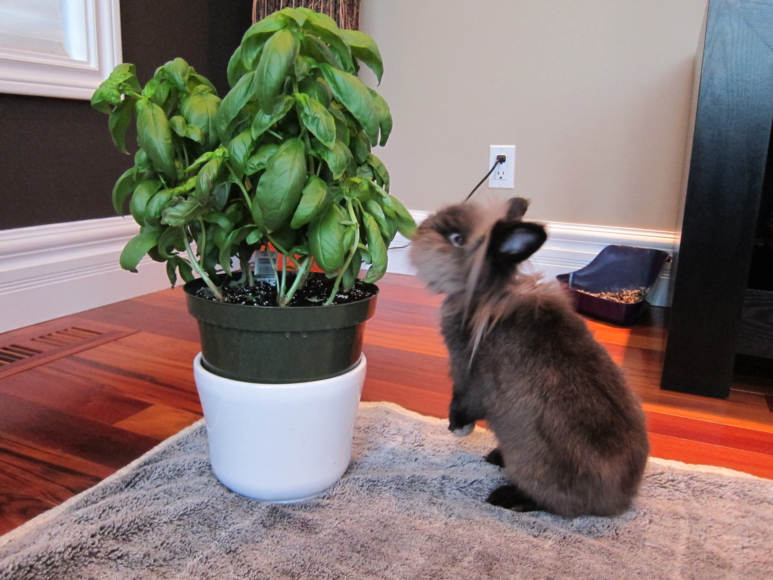 Bunny Helps Himself to the Basil Plant 2