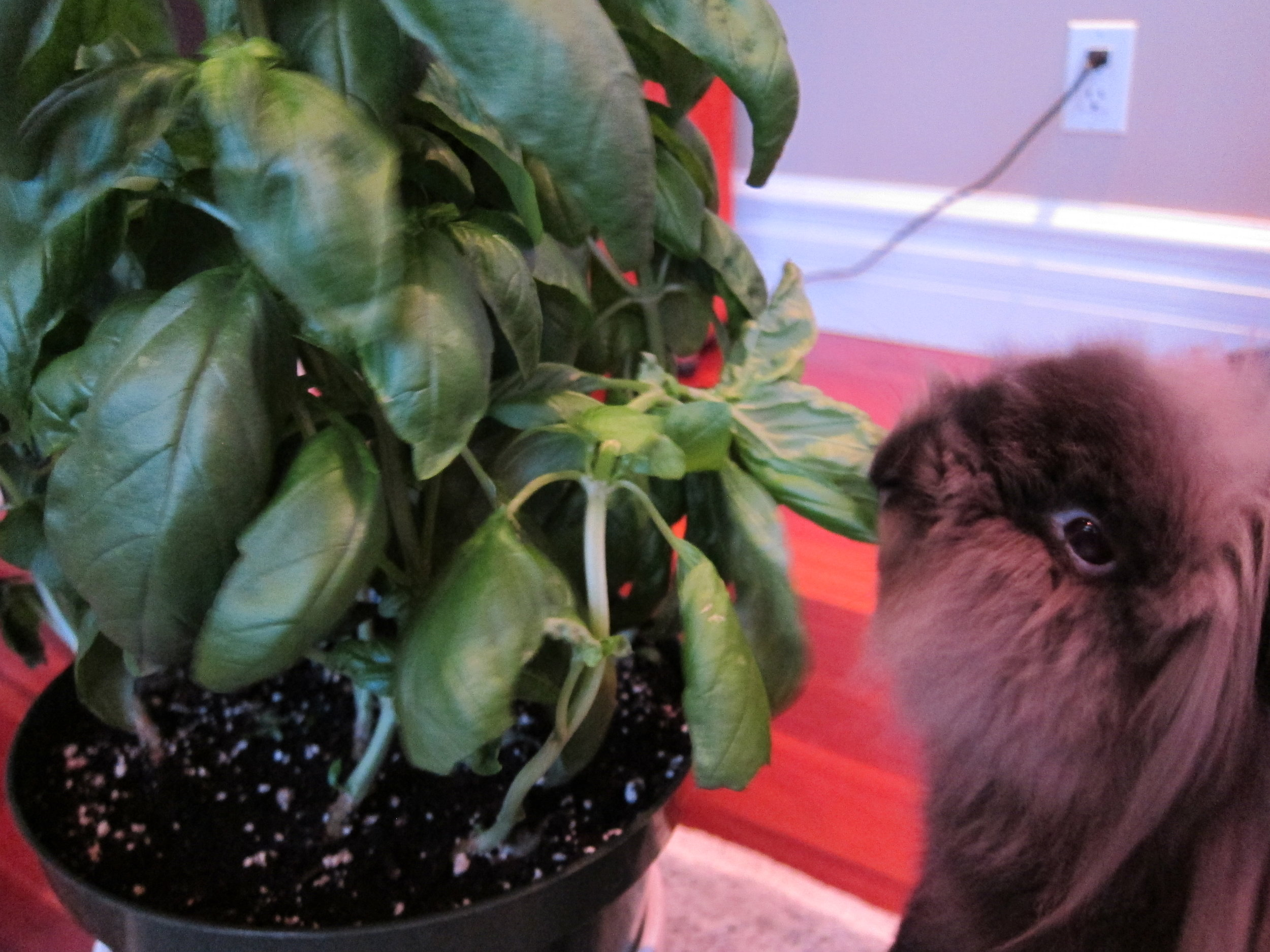 Bunny Helps Himself to the Basil Plant 1