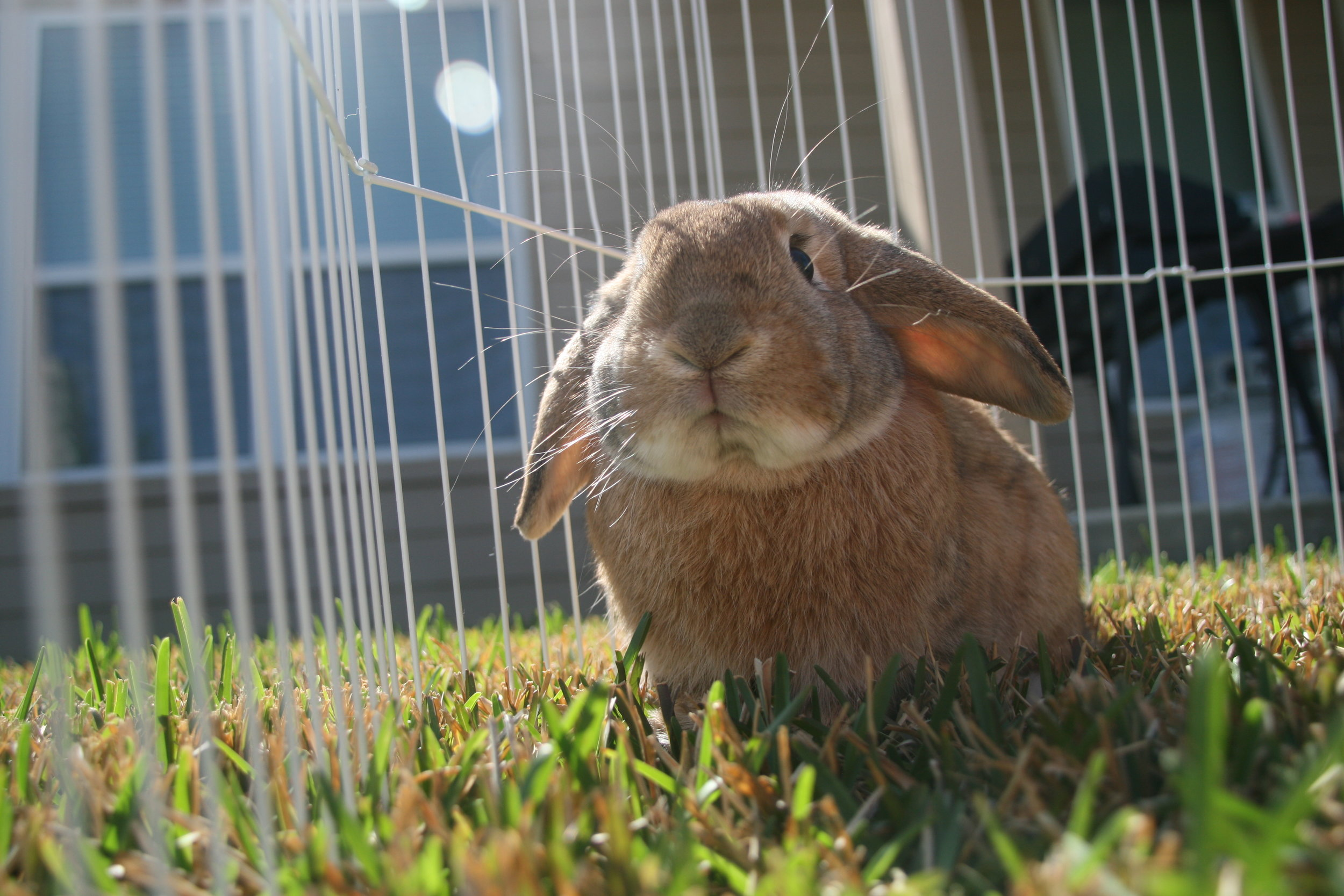 Bunny Soaks Up the Sun Outside on the Grass 1