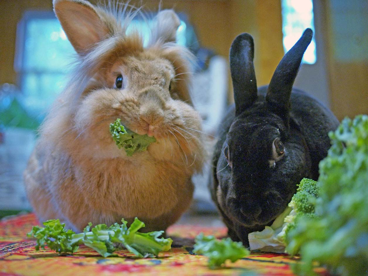 Bunnies Are Very Busy with Their Vegetables Right Now