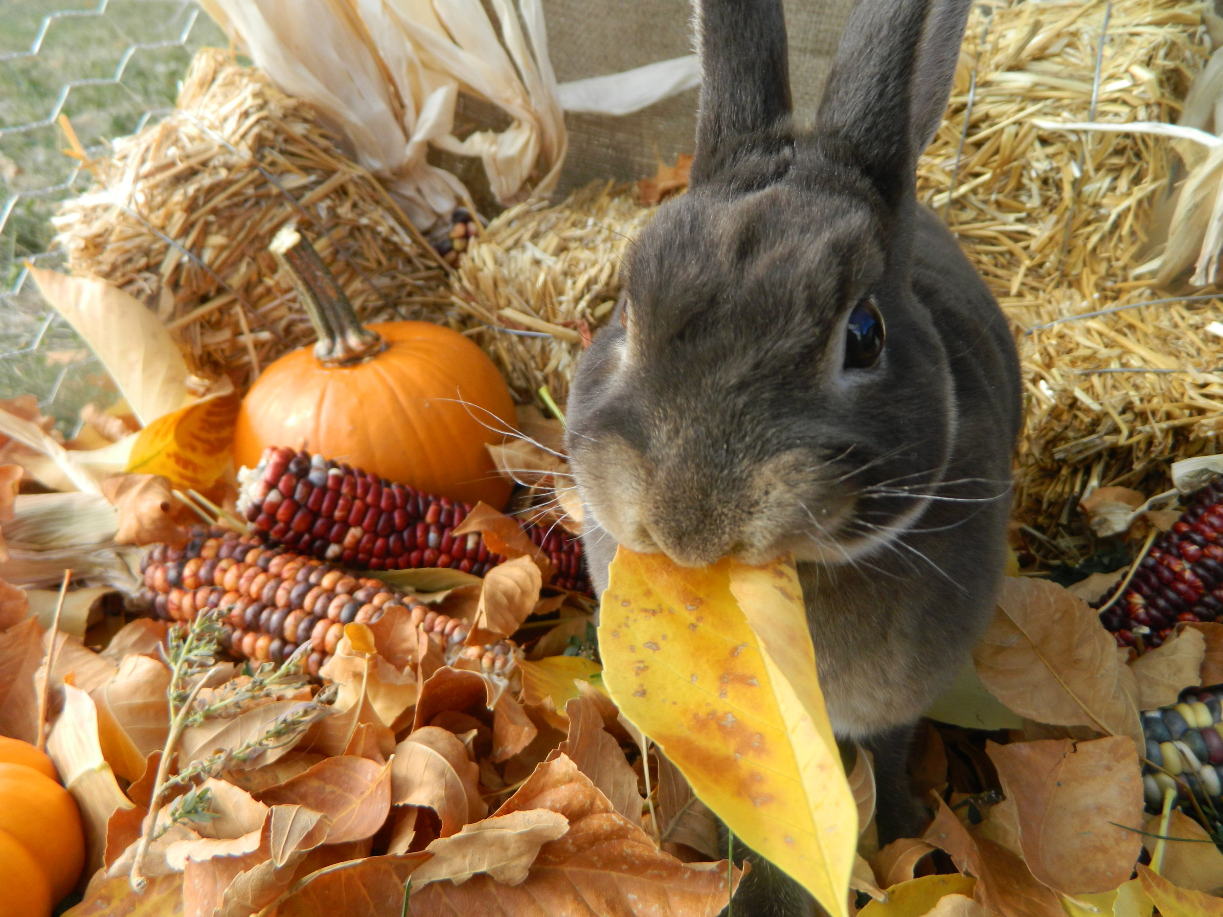 Bunny Gets in on the Fall Spirit 2