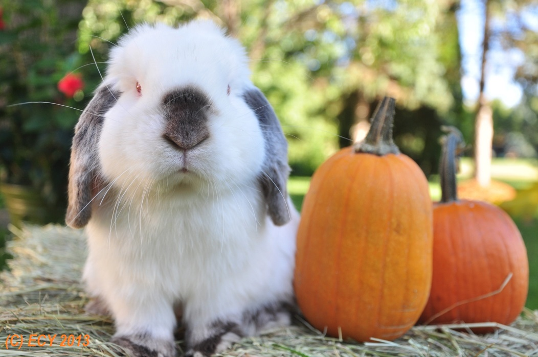 Bunny Poses with Pumpkins for a Nice Fall Photo