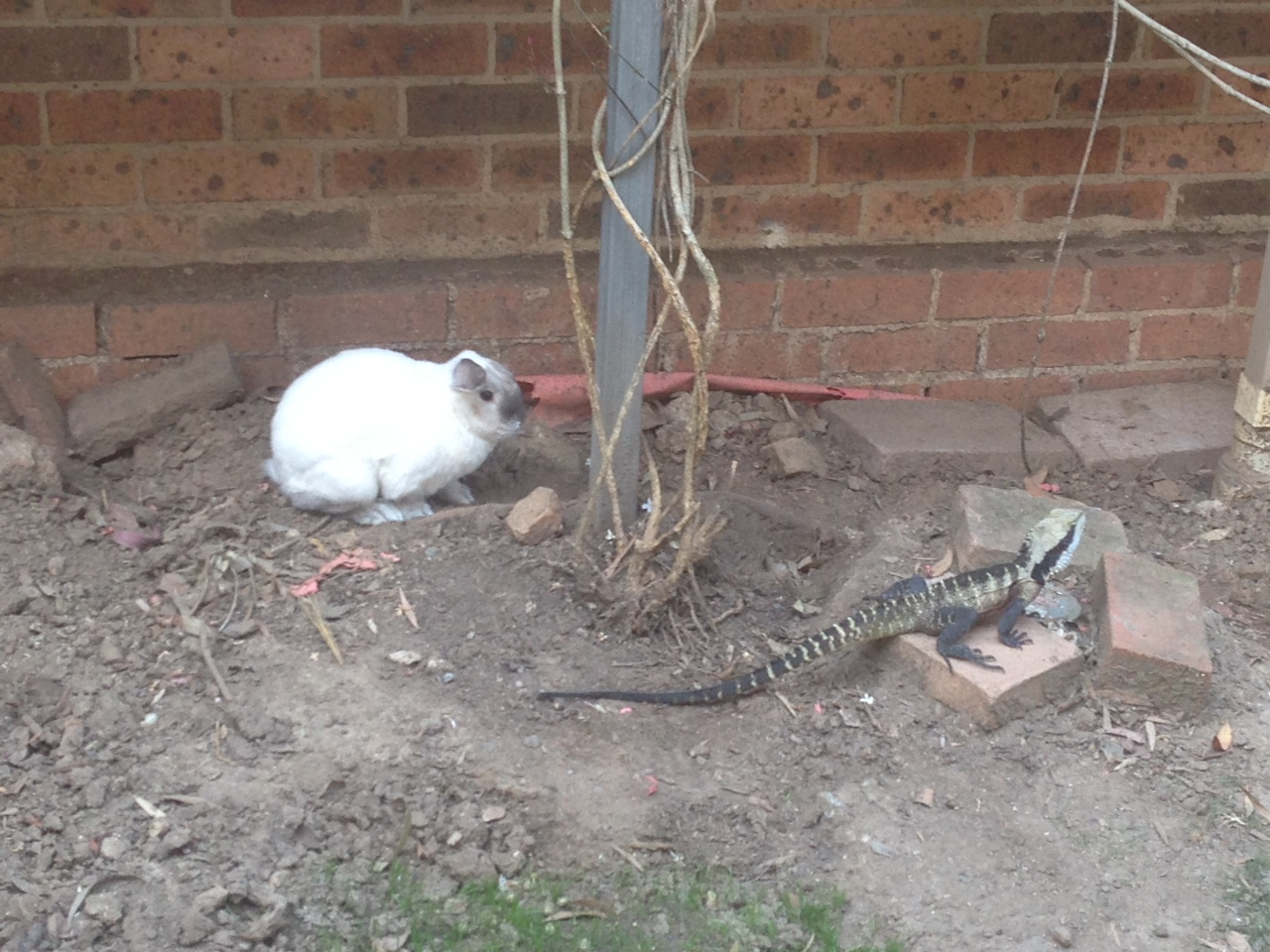 Bunny Will Not Be Intimidated When a Lizard Wanders into His Territory 2
