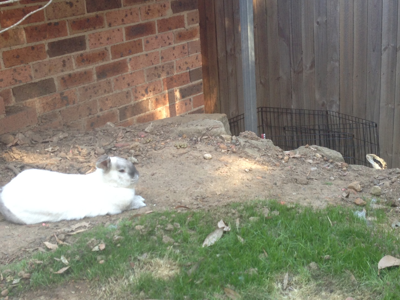 Bunny Will Not Be Intimidated When a Lizard Wanders into His Territory 3