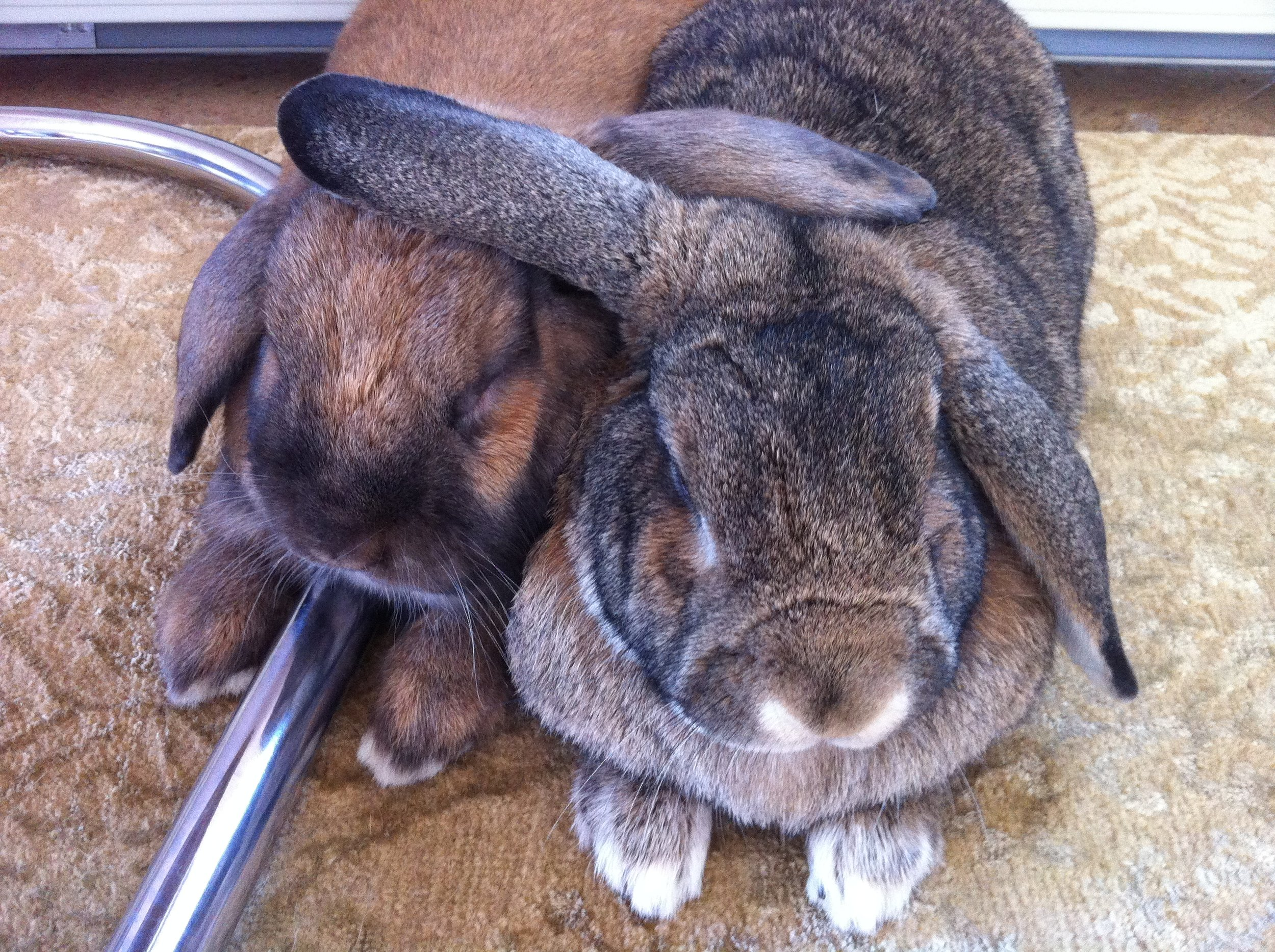 Bunny Pals Throw Their Ears Around Each Other