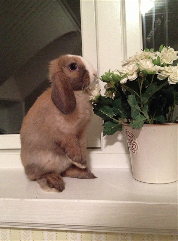 Bunny Contemplates the Flowers on the Windowsill 2