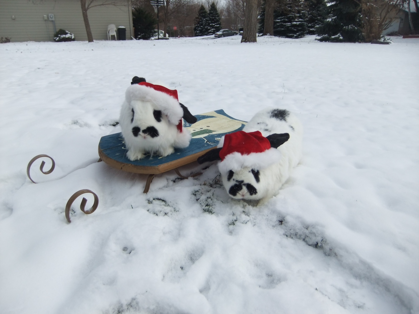 Bunnies Pose in the Snow with Their Sled