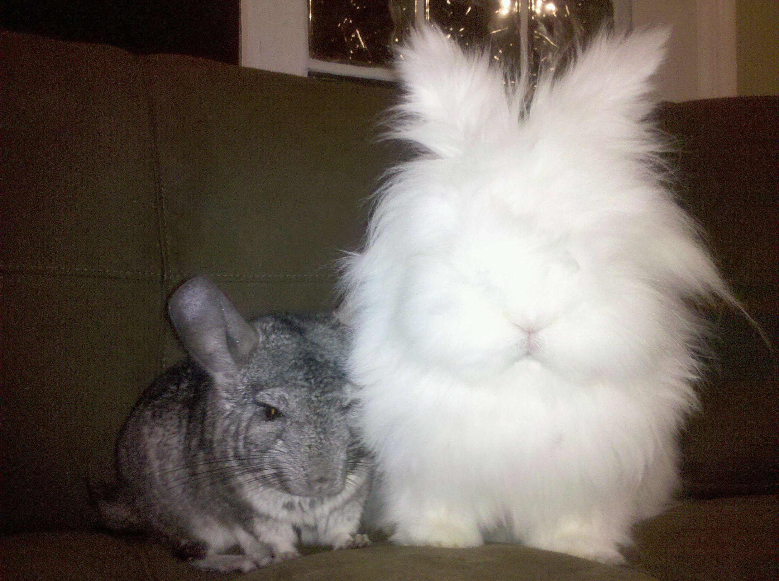 Fluffy Bunny and His Chinchilla Friend Sit Together Quietly