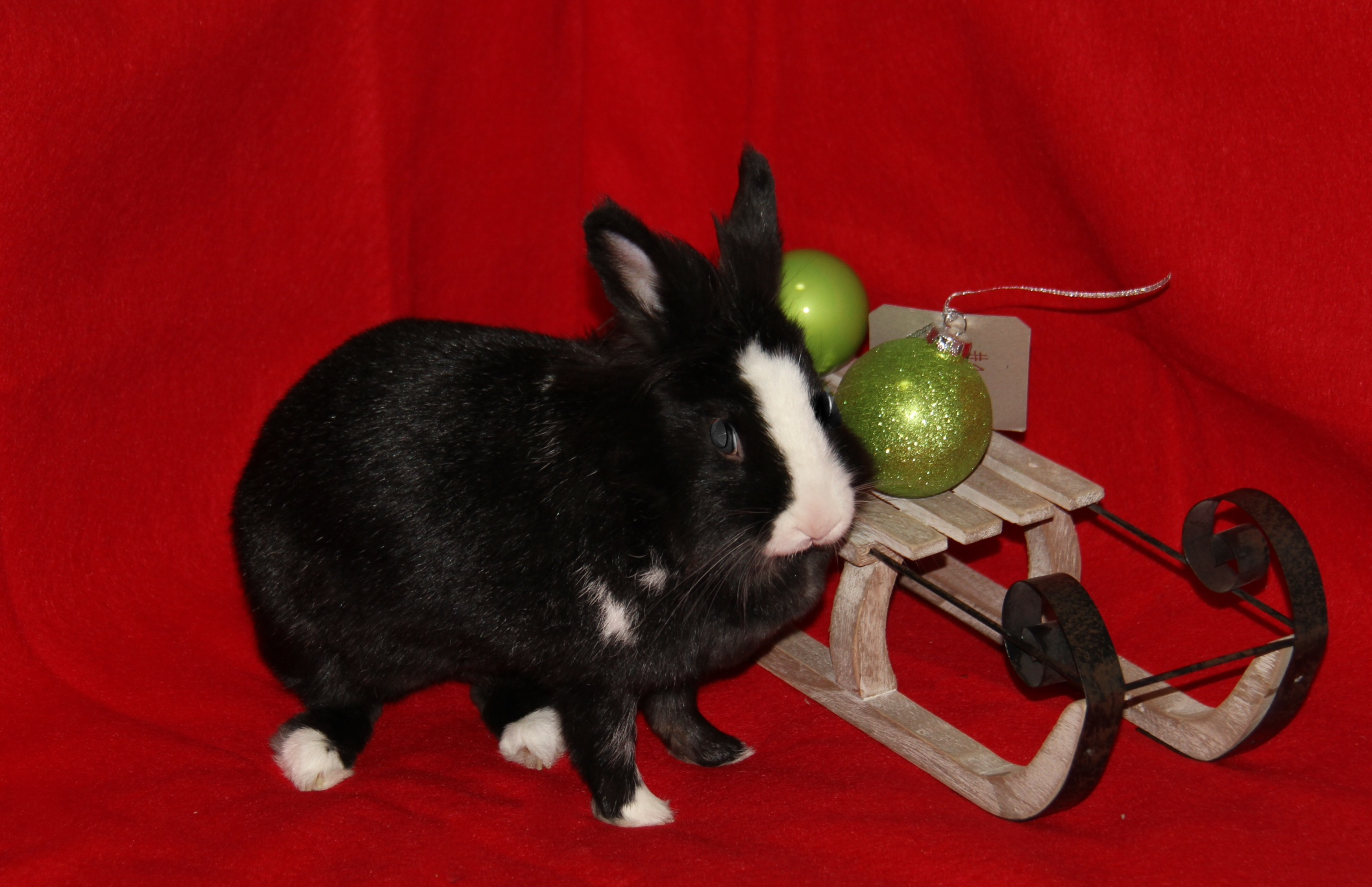 Bunny Gets Curious During Her Christmas Photoshoot 1