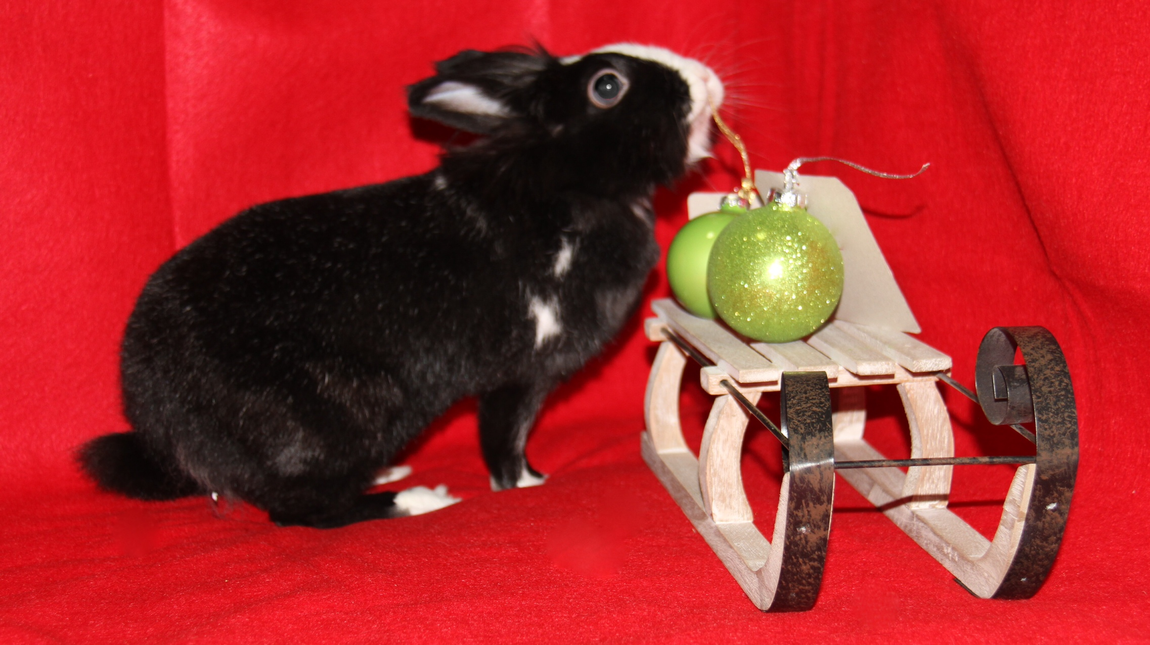 Bunny Gets Curious During Her Christmas Photoshoot 2