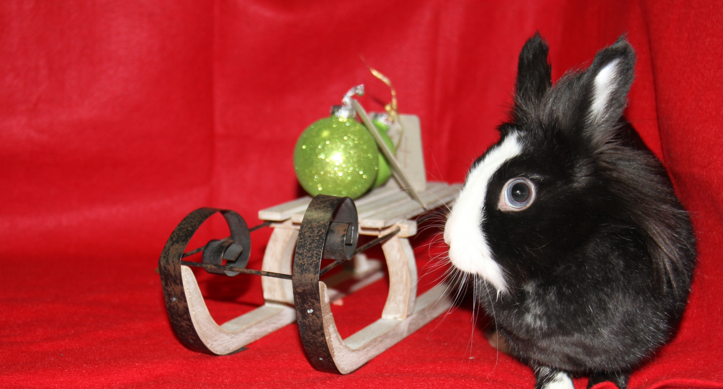 Bunny Gets Curious During Her Christmas Photoshoot 3
