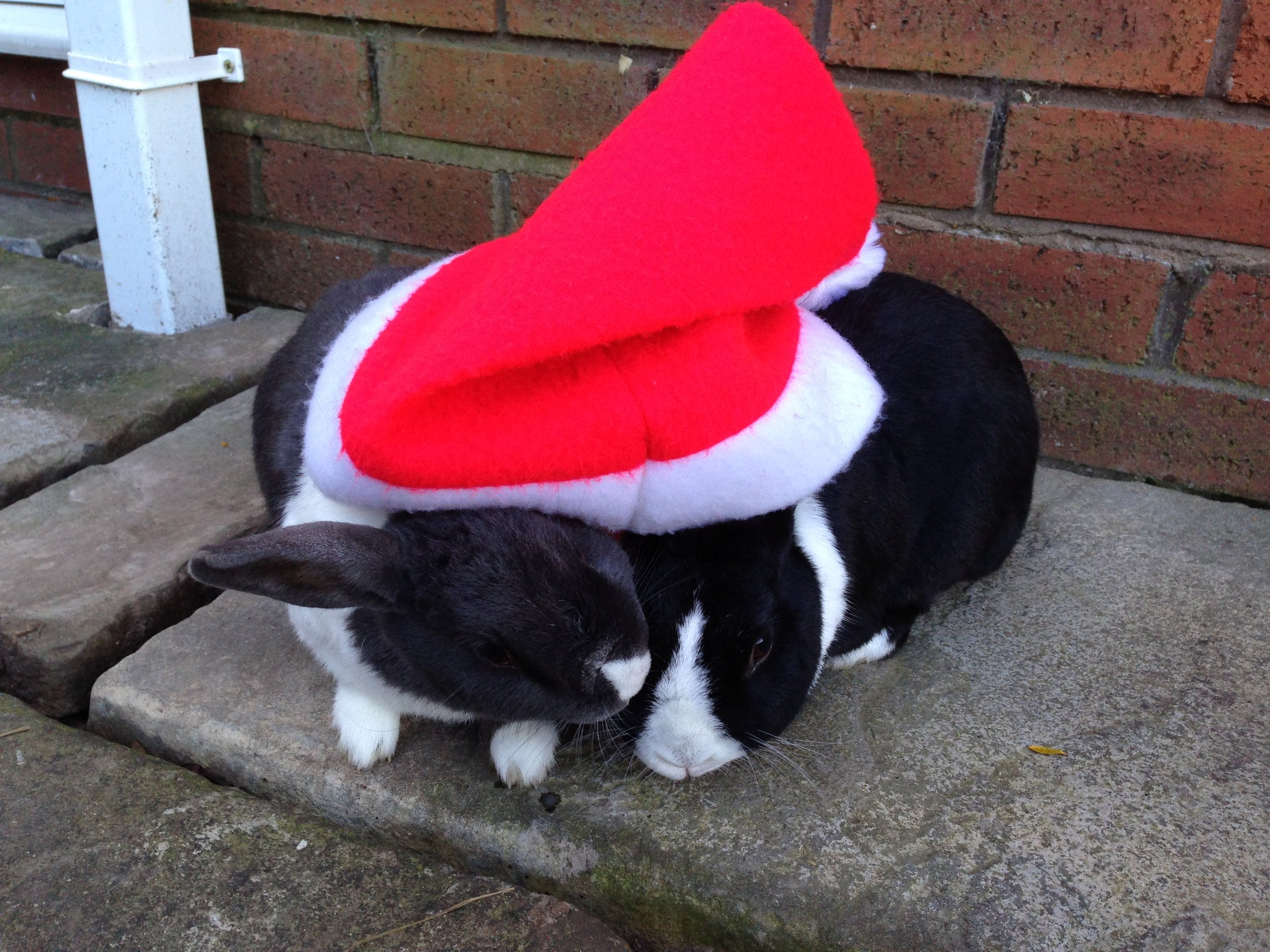 Bunnies Cuddle Under a Santa Hat