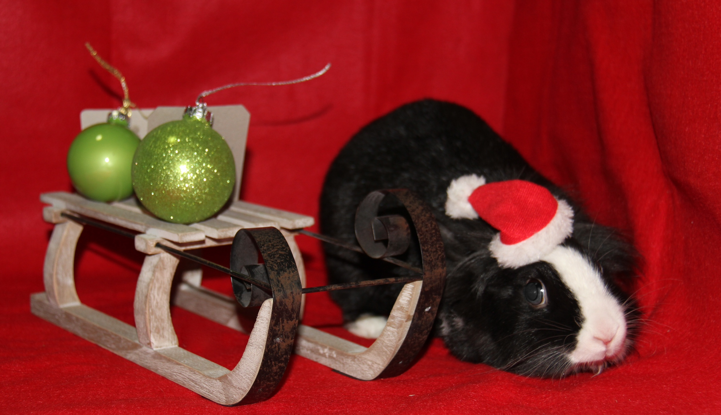 Bunny Gets Curious During Her Christmas Photoshoot 4