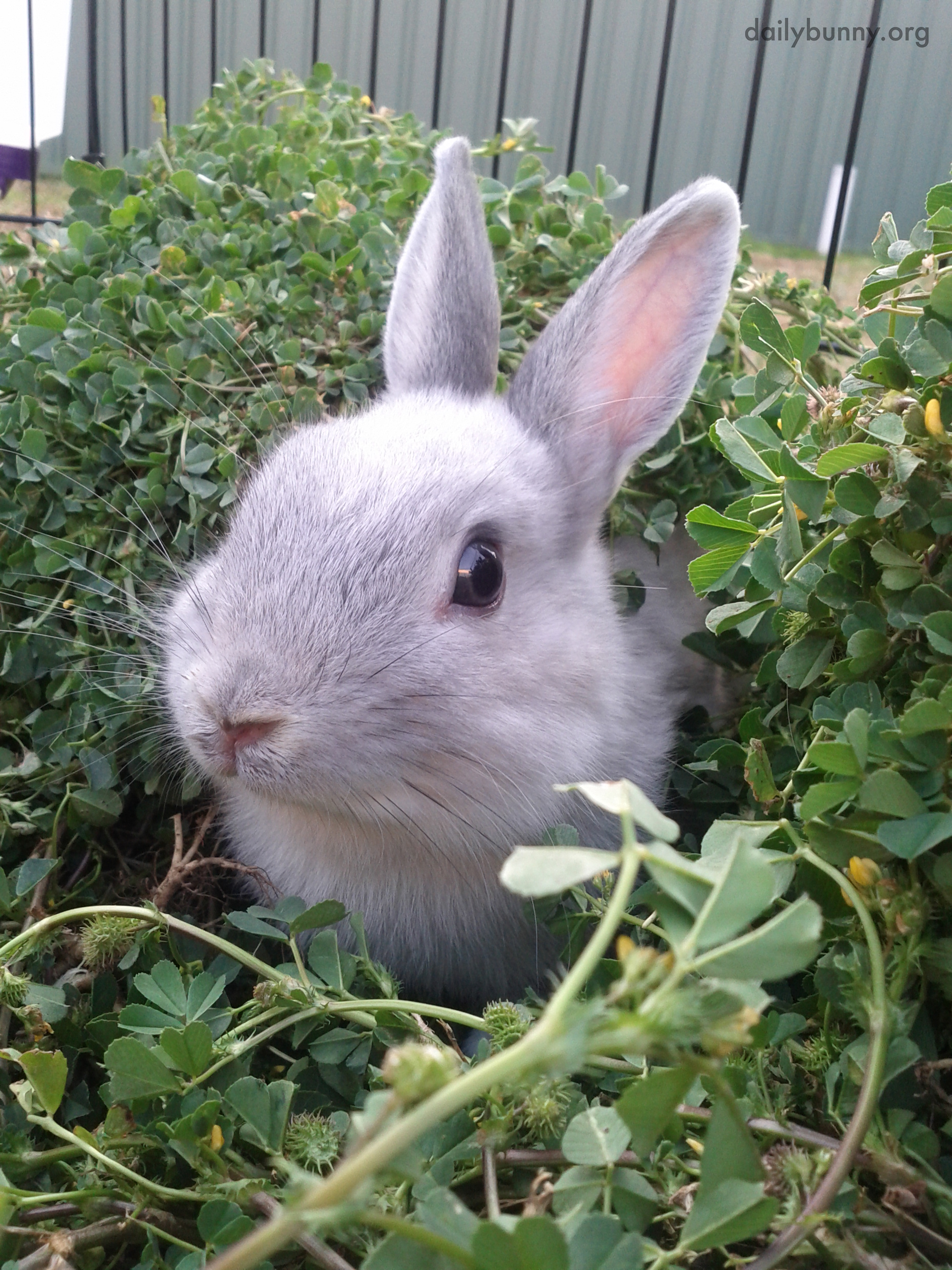 Bunny Pokes His Head Out from the Hedge 1