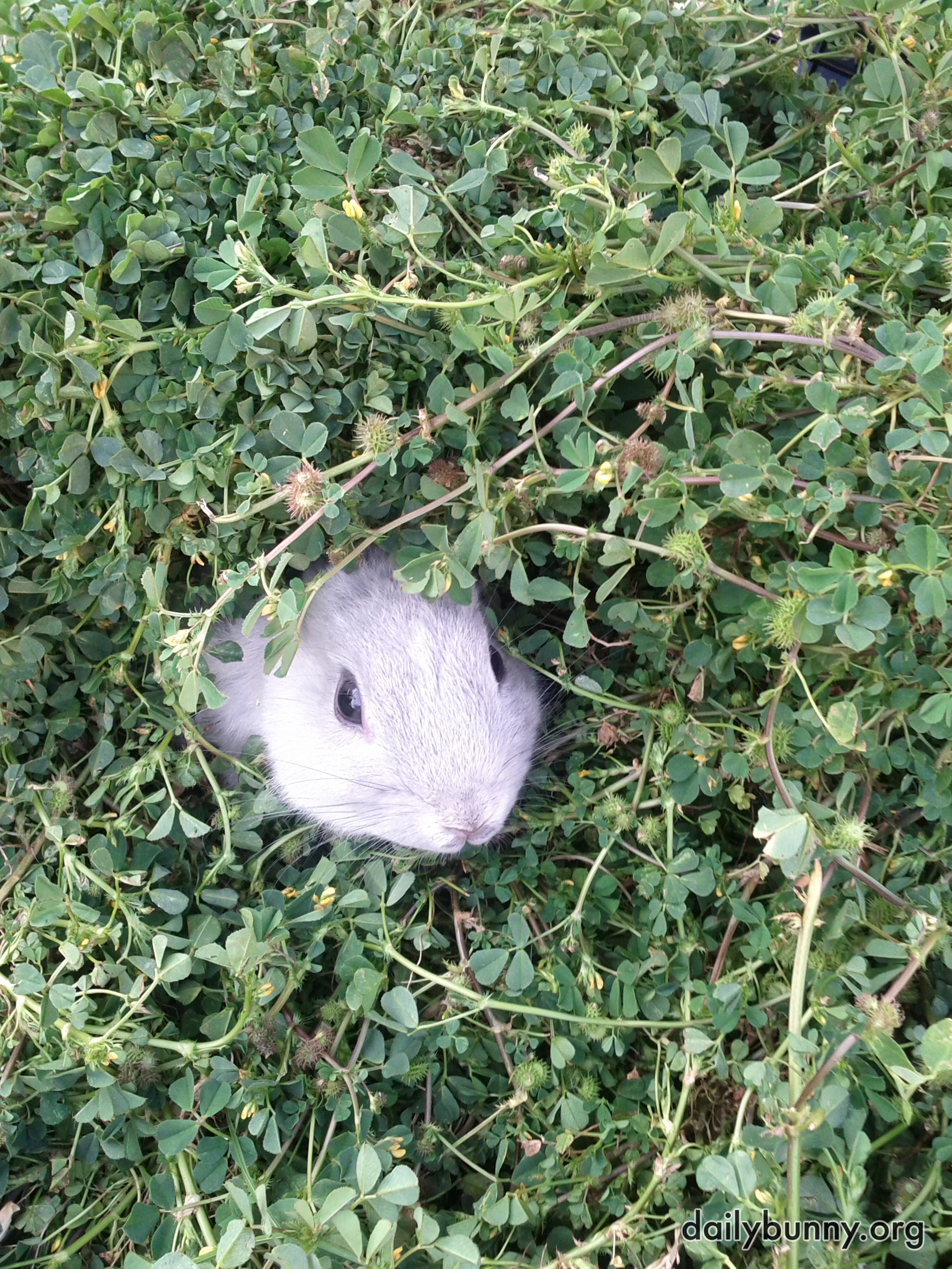 Bunny Pokes His Head Out from the Hedge 2