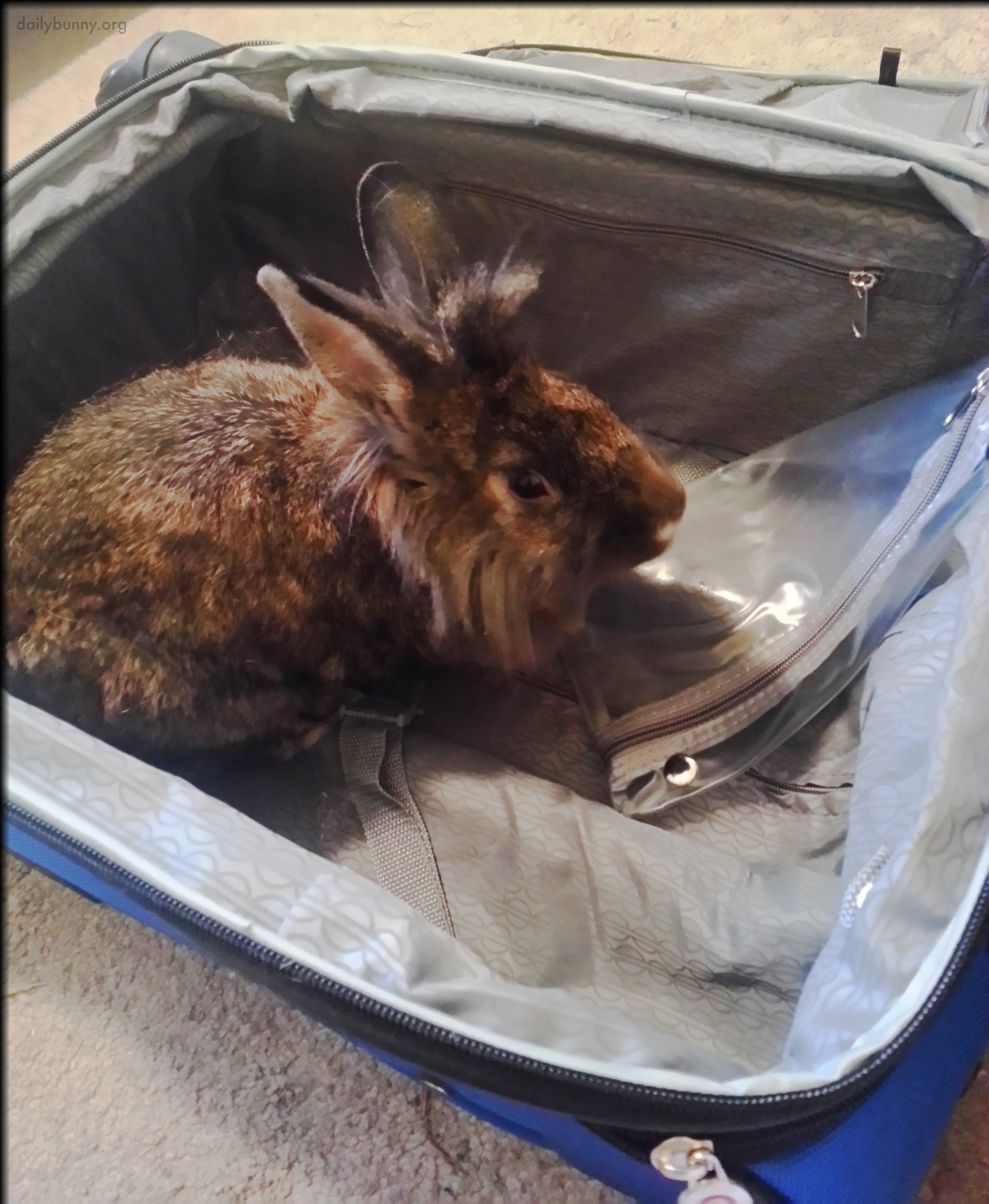 Well-Intentioned Bunny Helps His Human Pack