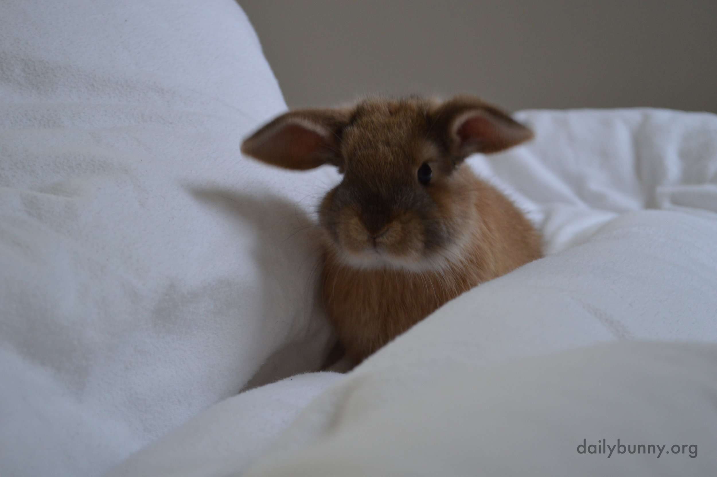 Bunny Explores the Hilly Fluffiness of the Duvet 2