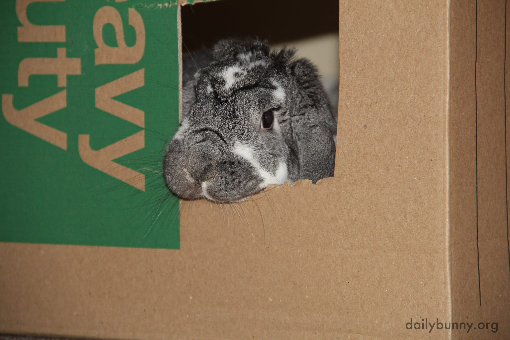 House-Moving Bunny Checks His Progress