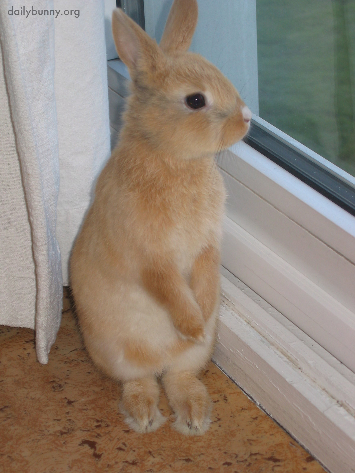 Tiny Bunny Stands Up to Gaze Out the Window