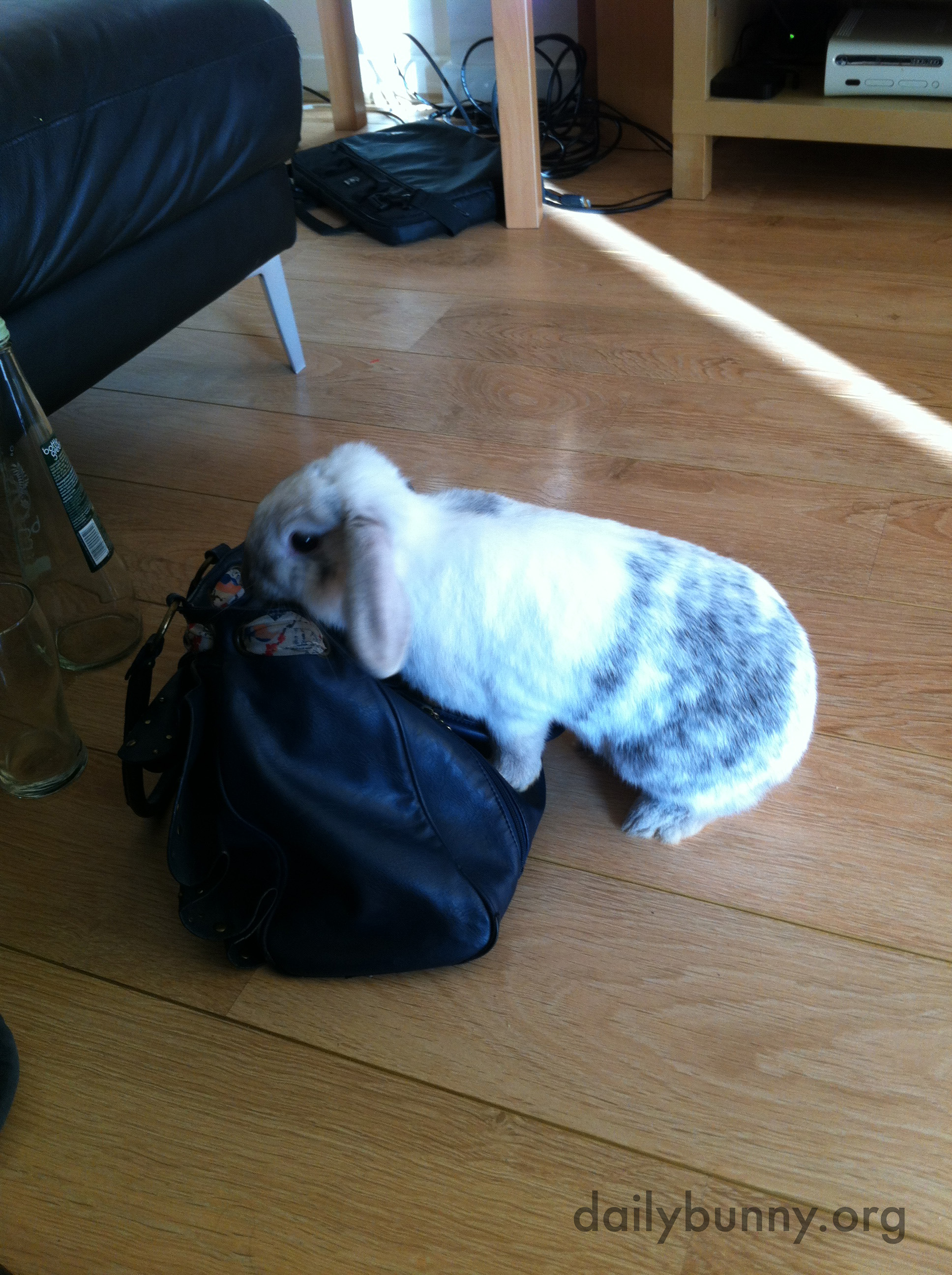 Bunny Plans to Stow Away in His Human's Bag for a Trip to the Grocery Store