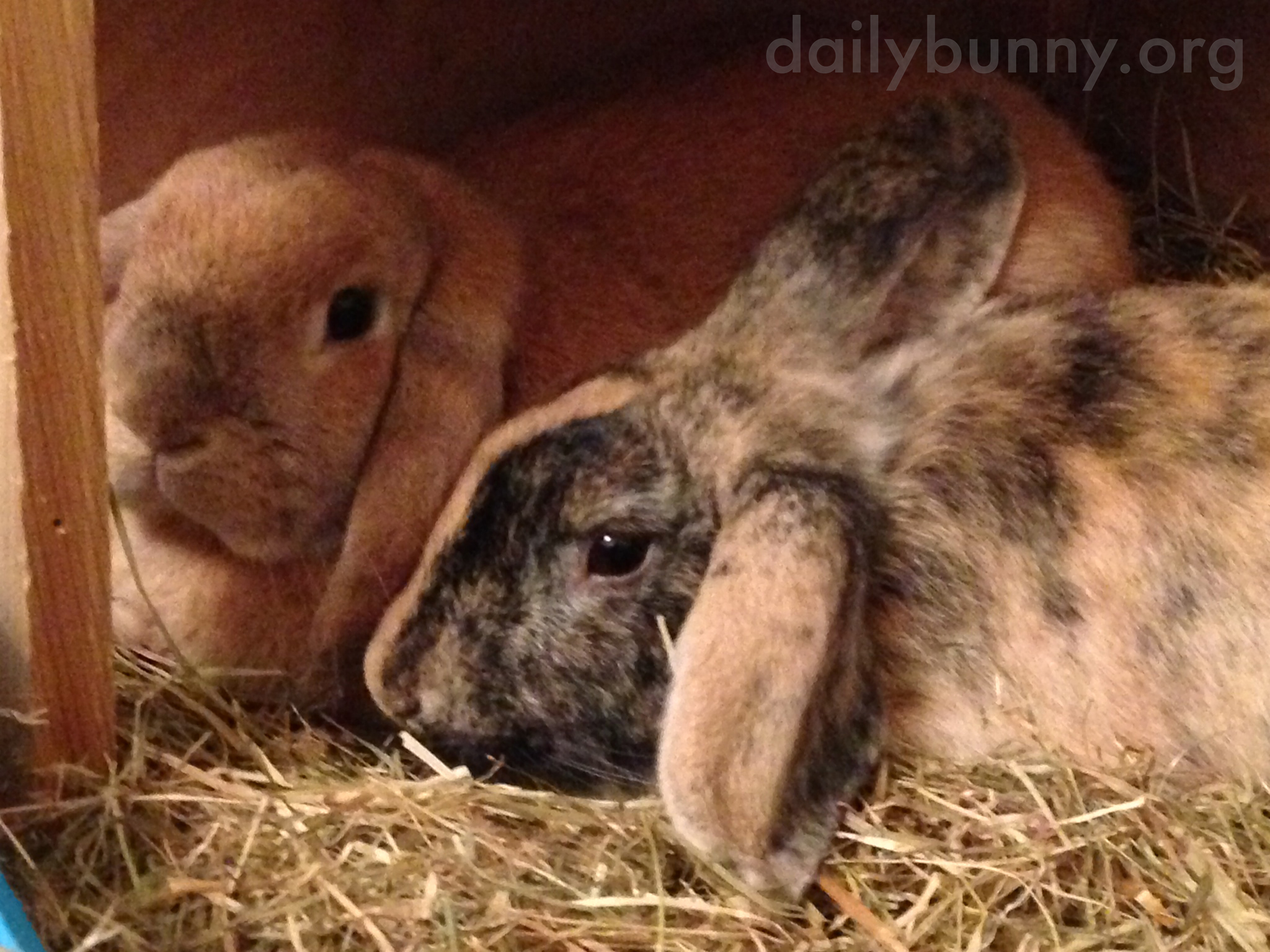 Bunnies Quietly, Peacefully Lie Together