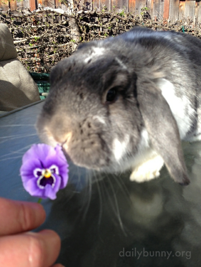Yes, Bunny Will Accept This Delicious Offering of Pansy, Thank You 1