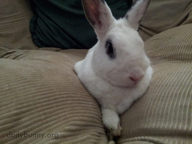 Bunny Falls Between the Couch Cushions