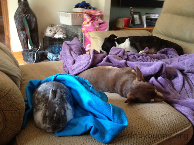 Bunny Joins the Dogs for a Nap 1