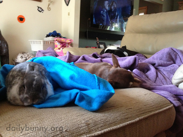 Bunny Joins the Dogs for a Nap 2