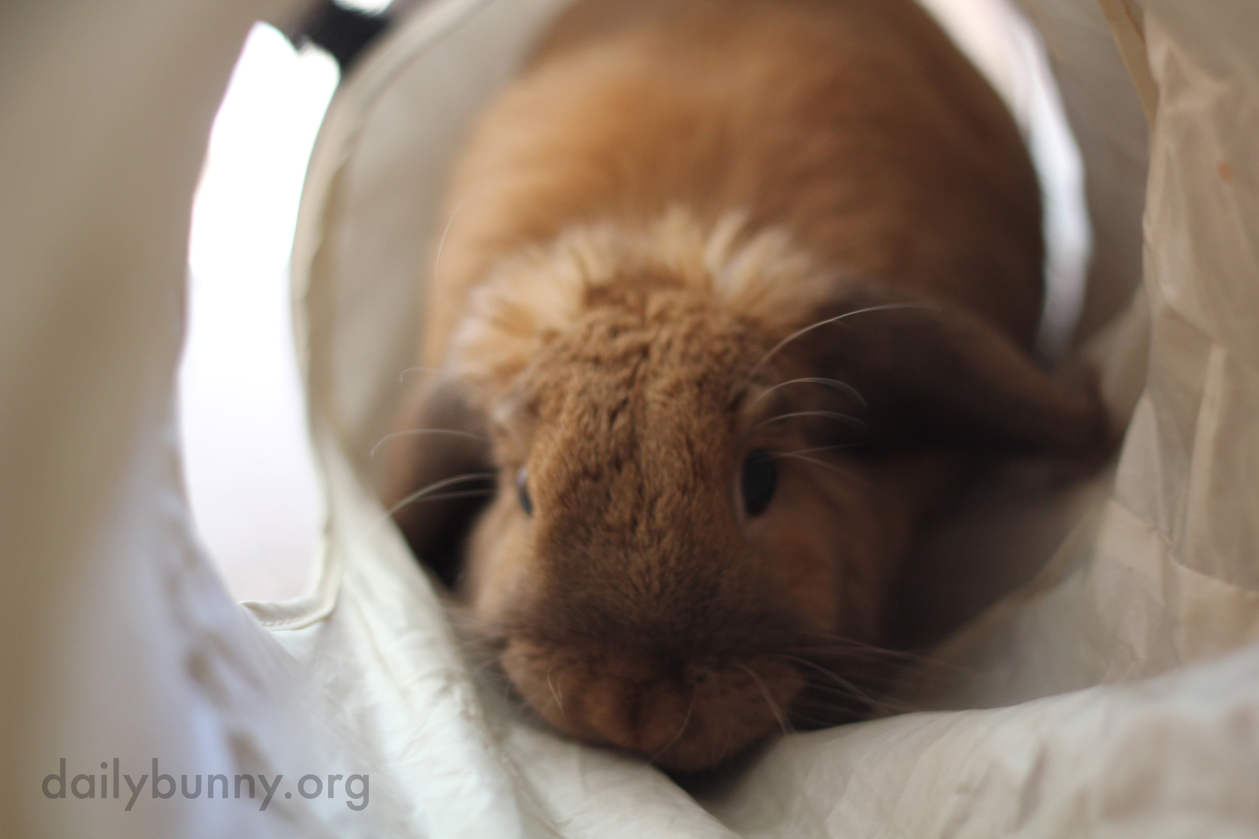 Bunny Will Travel Through Tunnels and Stand Up Tall to Be Near His Human 1