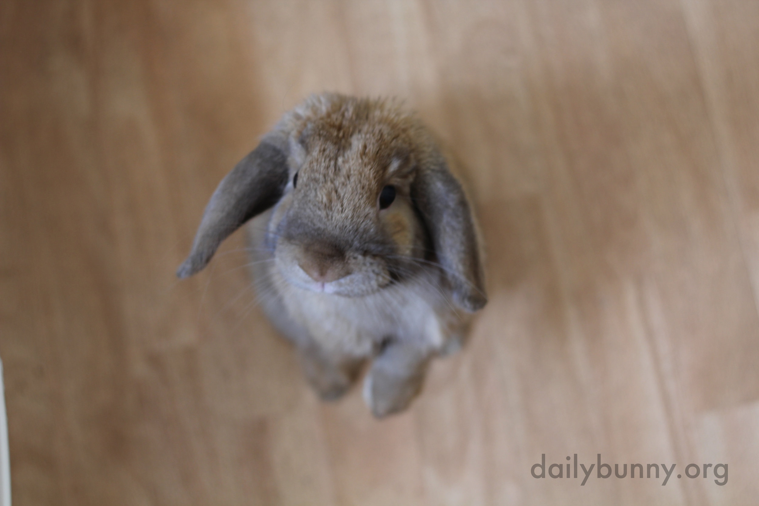 Bunny Will Travel Through Tunnels and Stand Up Tall to Be Near His Human 2