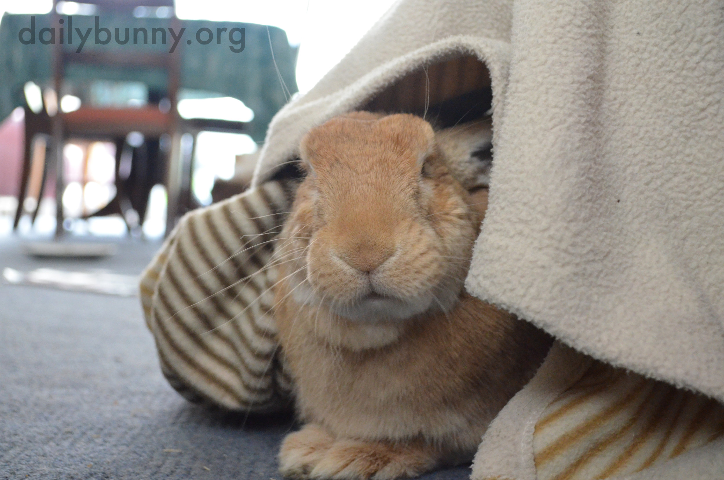 Who Disturbs Bunny in His Blanket Fort?