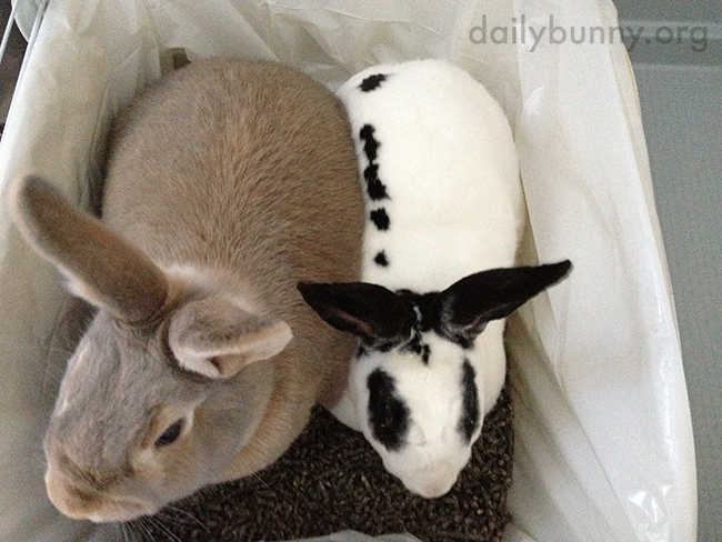 Bunnies Are So Inseparable They Even Use the Litter Box Together