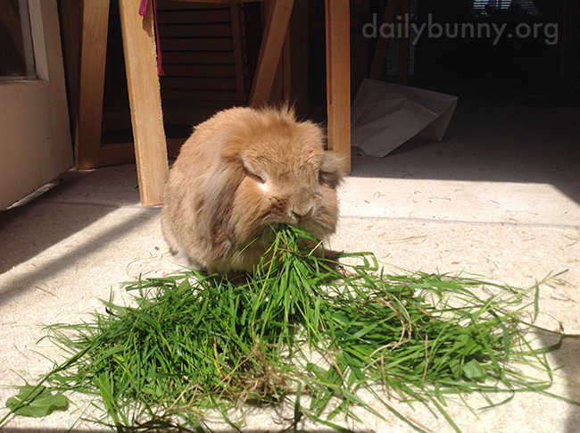 Bunny Enjoys a Mouthful of Grass