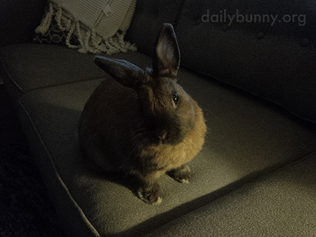 Bunny Is Really Trying to Understand Her Human's Position Here