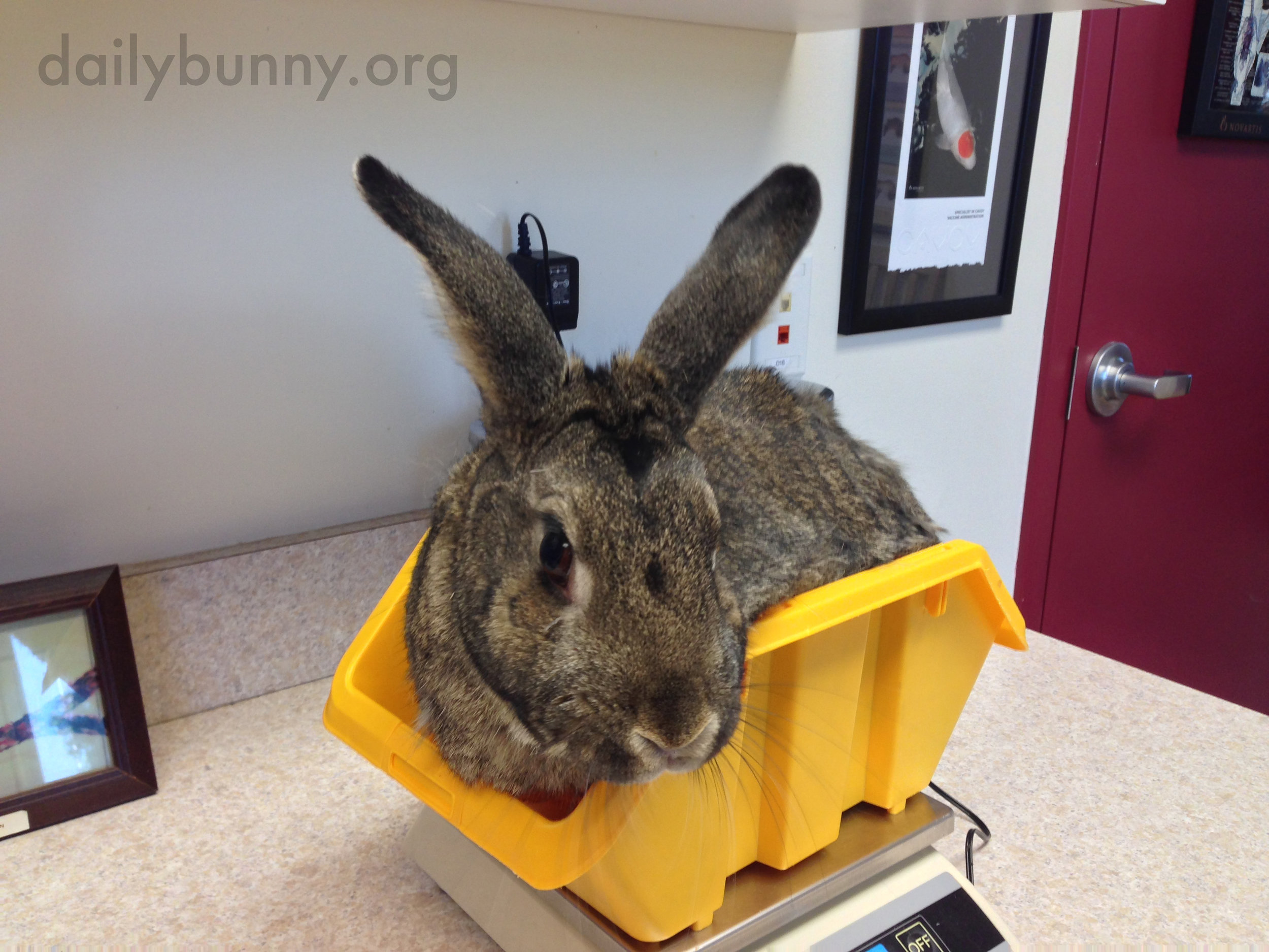 Bunny Looks a Little Shy About Being Weighed