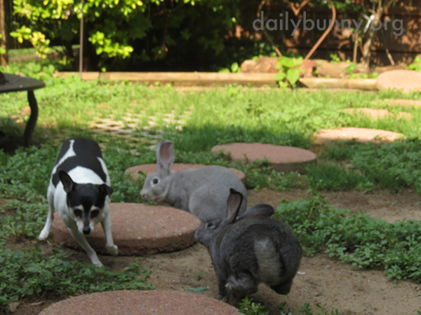 Bunnies Chase the Dog Around the Yard