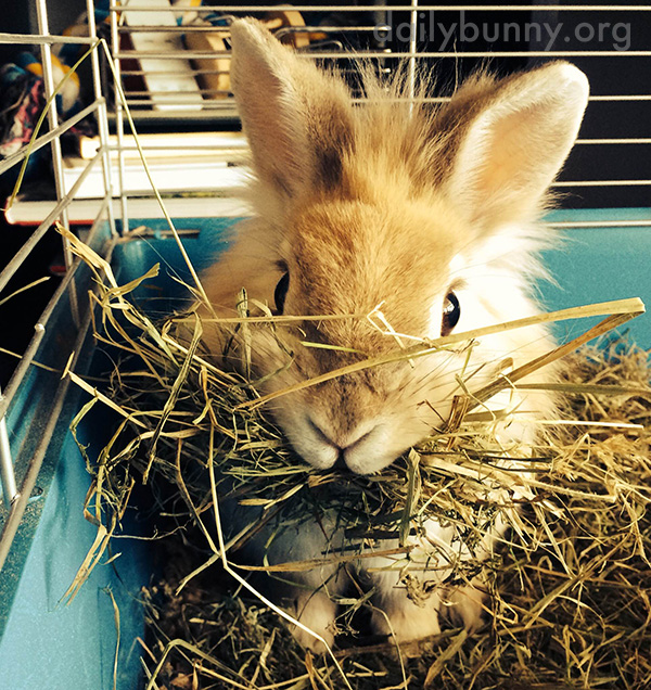 That Is One Big Mouthful of Hay, Bunny 1
