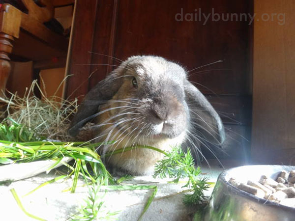 Bunny Attacks Some Carrot Greens 1