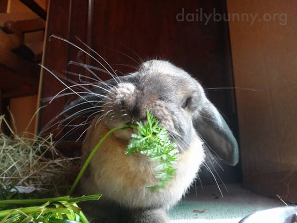 Bunny Attacks Some Carrot Greens 2